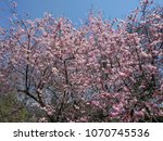 cherry blossoms   cherry trees... | Shutterstock . vector #1070745536