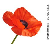 Single Red Poppy Flower...