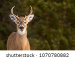 White Tailed Deer   Odocoileus...