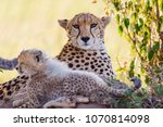Cheetah Mother In The Bush Wit...