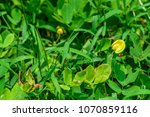 Small photo of Arachis pintoi, Amendoim-forrageiro (pinto peanut) ; The small green leaves, trunk creep on ground. Beautiful yellow flowers are suitable for gardening and ornamental plants instead of lawns.