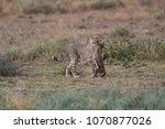 the cheetah carries the victim... | Shutterstock . vector #1070877026