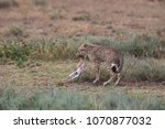 the cheetah carries the victim... | Shutterstock . vector #1070877032