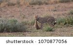 the cheetah carries the victim... | Shutterstock . vector #1070877056
