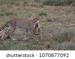 the cheetah carries the victim... | Shutterstock . vector #1070877092