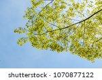 tree branch leaf on blue sky... | Shutterstock . vector #1070877122