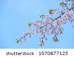 sakura blooming in spring at... | Shutterstock . vector #1070877125