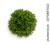 Small photo of buxus top view with white background