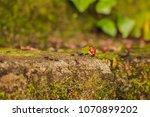 brazil  rio grande do sul ... | Shutterstock . vector #1070899202