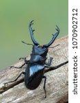giraffe stag beetle  ...   Shutterstock . vector #1070902712
