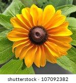 Yellow Daisy Flower,Close Up - stock photo