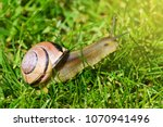 The Grove Snail Or Brown Lippe...