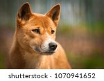 Close portrait of dingo, a dog from new guinea. Singing dog!s portrait. Orange australian. Australian predator with yellow or orange fur. Representative animal of Australia.