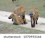 herd of spotted hyenas  crocuta ... | Shutterstock . vector #1070953166