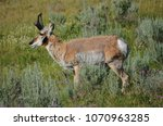 Antelope seen in Lamar Valley at Yellowstone National Park.