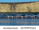 flamingos in seascape patagonia ... | Shutterstock . vector #1070995262