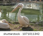 Two Pelicans Rest On The Shore...