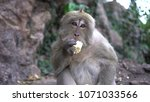 portrait of a monkey close up... | Shutterstock . vector #1071033566