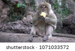portrait of a monkey close up... | Shutterstock . vector #1071033572