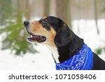 the portrait of an entlebucher... | Shutterstock . vector #1071058406