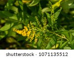 solidago  commonly called...   Shutterstock . vector #1071135512