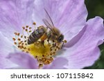 Wasp Collecting Pollen From A...