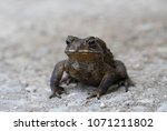 close up of asian common toad... | Shutterstock . vector #1071211802