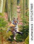 the siberian tiger  panthera... | Shutterstock . vector #1071257885