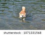 shiba inu swim | Shutterstock . vector #1071331568
