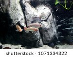 aquarium of guadeloupe and its...   Shutterstock . vector #1071334322