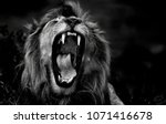 Stock photo the roar of the lion ngorongoro conservatio area tanzania photo taken in ndutu on the southern 1071416678