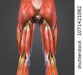 lower limbs muscles anatomy... | Shutterstock . vector #1071421082