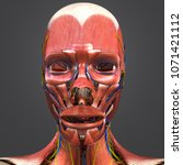 facial muscles with arteries...   Shutterstock . vector #1071421112