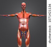 human muscular anatomy with...   Shutterstock . vector #1071421136