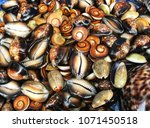 Moluccas Shell Selling In The...