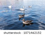 swans and ducks swimming on... | Shutterstock . vector #1071462152