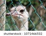 ostrich behind a wire   Shutterstock . vector #1071466532