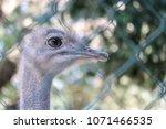 ostrich behind a wire   Shutterstock . vector #1071466535