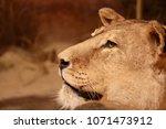 lioness close up portrait   Shutterstock . vector #1071473912
