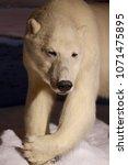 white polar bear   Shutterstock . vector #1071475895