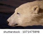 white polar bear   Shutterstock . vector #1071475898