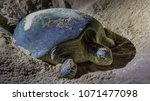 the nesting process of green... | Shutterstock . vector #1071477098