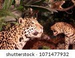 jaguar in the jungle   Shutterstock . vector #1071477932