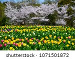 tulips in garden against a... | Shutterstock . vector #1071501872
