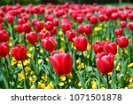 tulips in garden against a... | Shutterstock . vector #1071501878