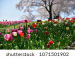 tulips in garden against a... | Shutterstock . vector #1071501902
