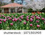 tulips in garden against a... | Shutterstock . vector #1071501905