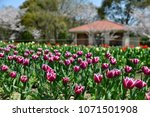 tulips in garden against a... | Shutterstock . vector #1071501908