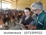 farmer with veterinary in cow...   Shutterstock . vector #1071509522