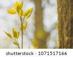 fresh offspring of a tree ...   Shutterstock . vector #1071517166